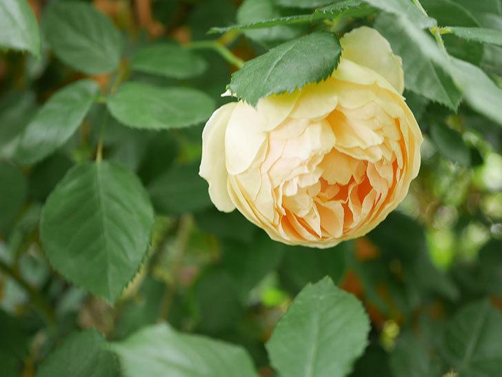 ジュード・ジ・オブスキュア(Jude the Obscure)の花がたくさん咲いた。半ツルバラ。2021年-083.jpg