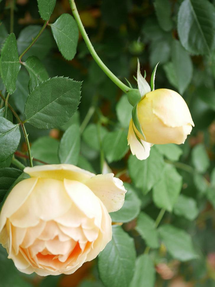 ジュード・ジ・オブスキュア(Jude the Obscure)の花がたくさん咲いた。半ツルバラ。2021年-084.jpg