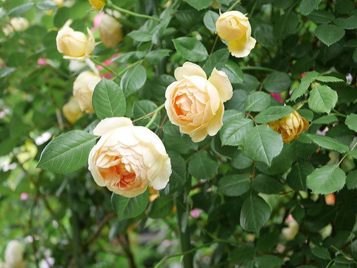 ジュード・ジ・オブスキュア(Jude the Obscure)の花がたくさん咲いた。半ツルバラ。2021年-085.jpg