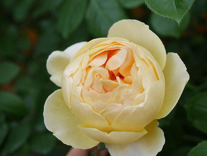 ジュード・ジ・オブスキュア(Jude the Obscure)の花が咲いた。半ツルバラ。2021年-001.jpg