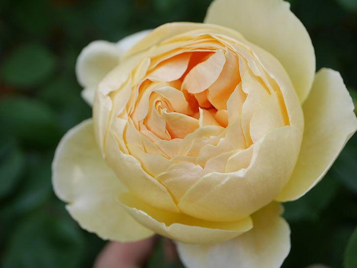ジュード・ジ・オブスキュア(Jude the Obscure)の花が咲いた。半ツルバラ。2021年-002.jpg
