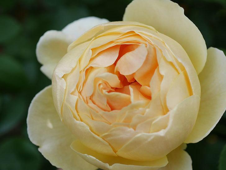 ジュード・ジ・オブスキュア(Jude the Obscure)の花が咲いた。半ツルバラ。2021年-003.jpg