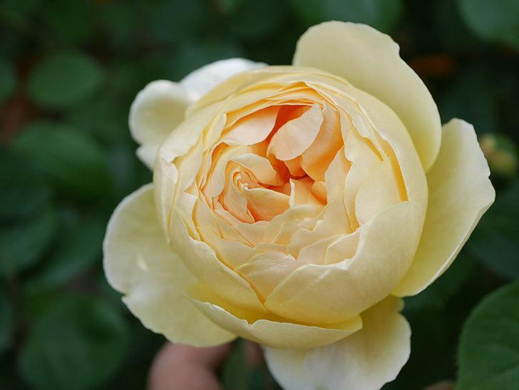 ジュード・ジ・オブスキュア(Jude the Obscure)の花が咲いた。半ツルバラ。2021年-004.jpg