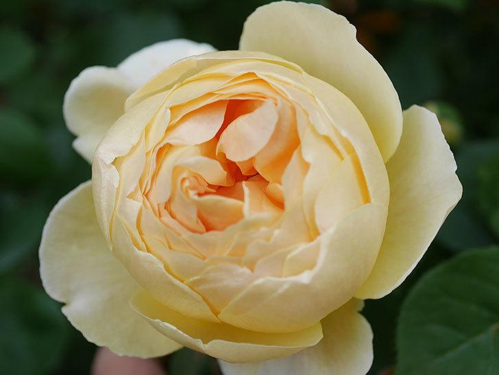 ジュード・ジ・オブスキュア(Jude the Obscure)の花が咲いた。半ツルバラ。2021年-005.jpg