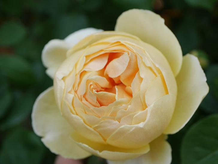 ジュード・ジ・オブスキュア(Jude the Obscure)の花が咲いた。半ツルバラ。2021年-006.jpg