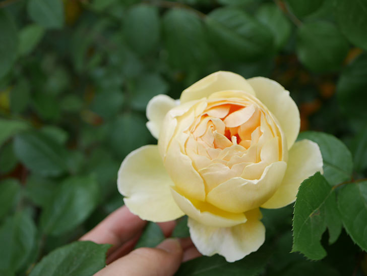 ジュード・ジ・オブスキュア(Jude the Obscure)の花が咲いた。半ツルバラ。2021年-007.jpg