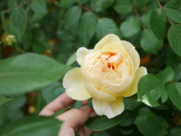 ジュード・ジ・オブスキュア(Jude the Obscure)の花が咲いた。半ツルバラ。2021年-008.jpg