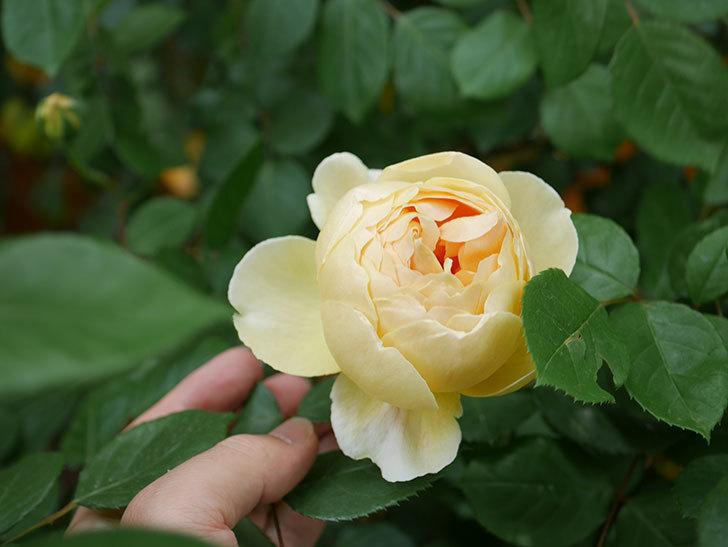 ジュード・ジ・オブスキュア(Jude the Obscure)の花が咲いた。半ツルバラ。2021年-009.jpg