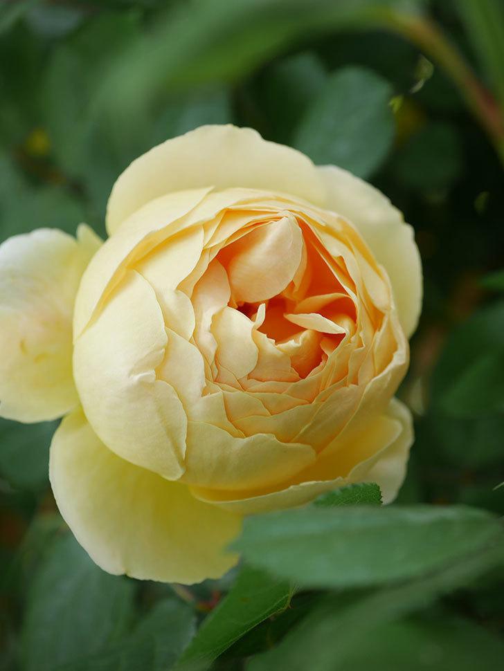ジュード・ジ・オブスキュア(Jude the Obscure)の花が咲いた。半ツルバラ。2021年-012.jpg