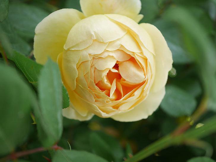 ジュード・ジ・オブスキュア(Jude the Obscure)の花が咲いた。半ツルバラ。2021年-013.jpg