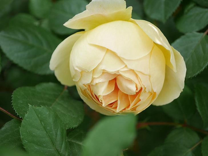 ジュード・ジ・オブスキュア(Jude the Obscure)の花が咲いた。半ツルバラ。2021年-014.jpg