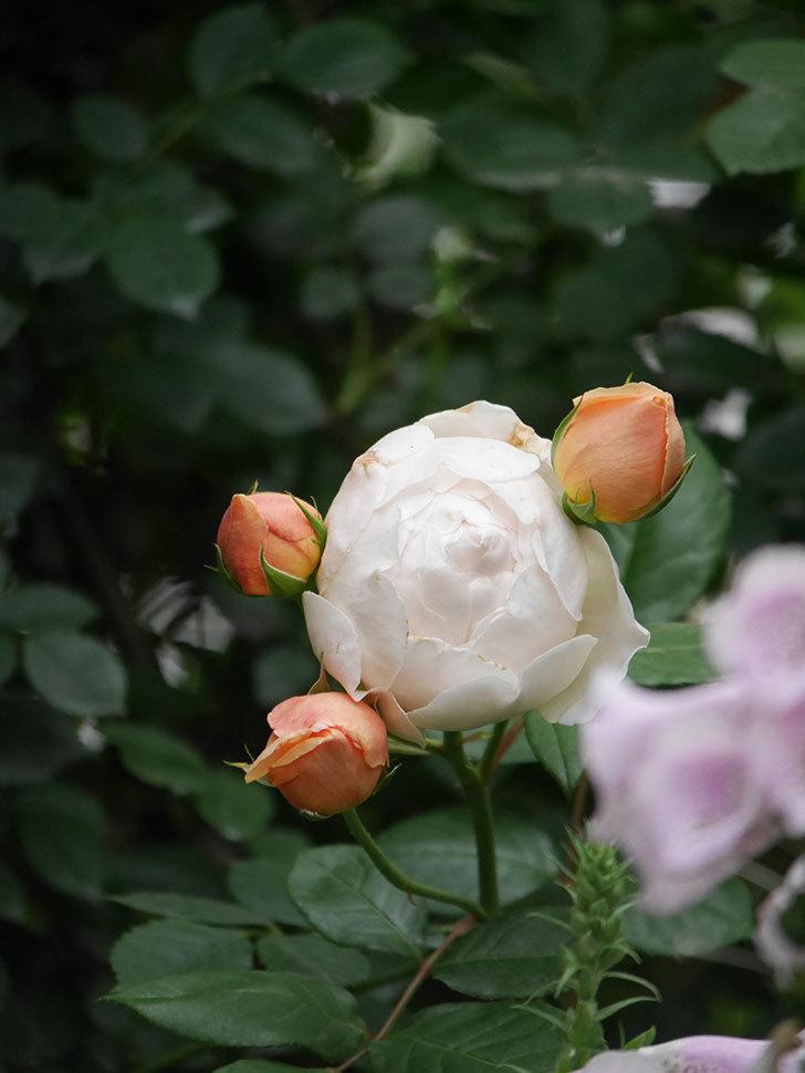 ジュード・ジ・オブスキュア(Jude the Obscure)房で咲い。半ツルバラ。2020年-012.jpg