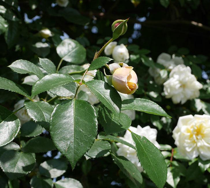 ジンジャー・シラバブ(ツルバラ)がすこし咲いた。2018年-1.jpg