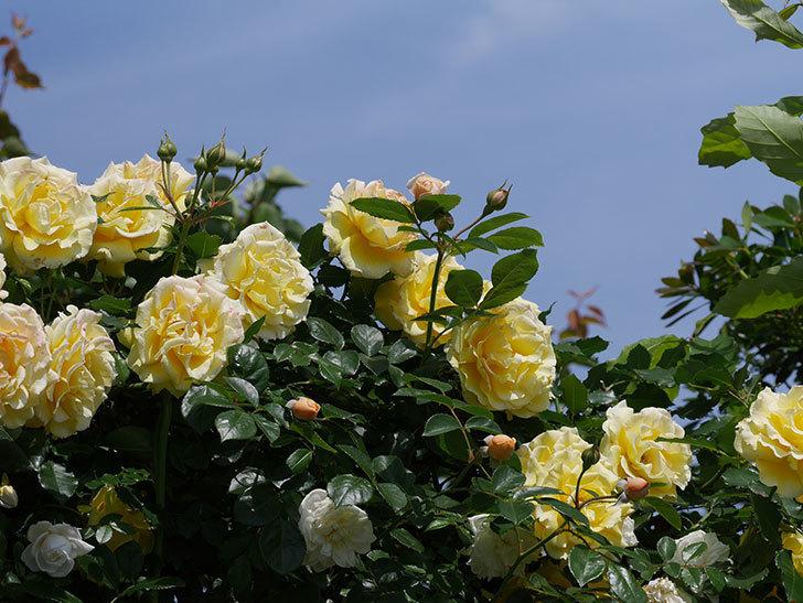 ジンジャー・シラバブ(ツルバラ)がすこし咲いた。2018年-10.jpg