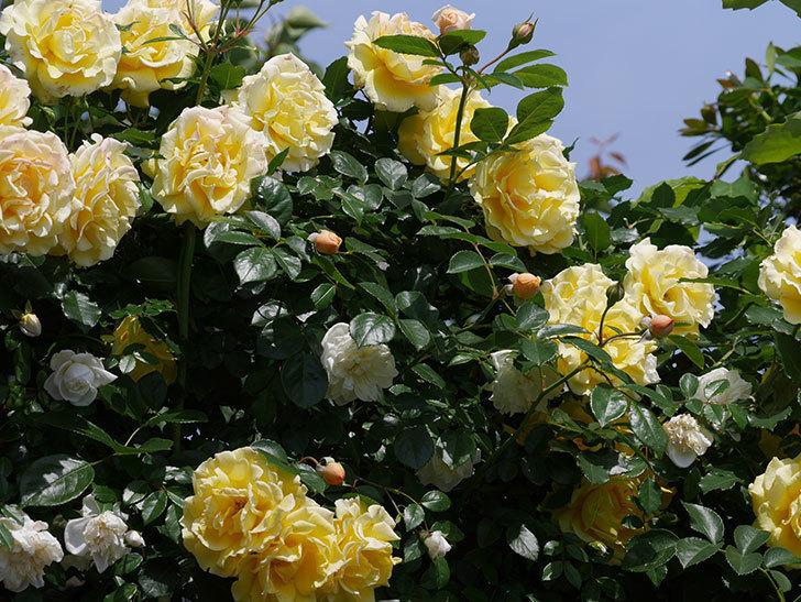 ジンジャー・シラバブ(ツルバラ)がすこし咲いた。2018年-11.jpg