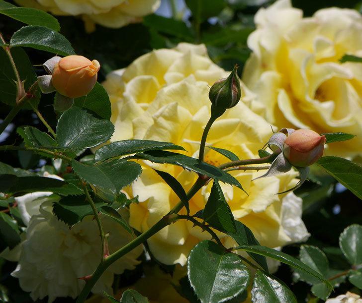 ジンジャー・シラバブ(ツルバラ)がすこし咲いた。2018年-14.jpg