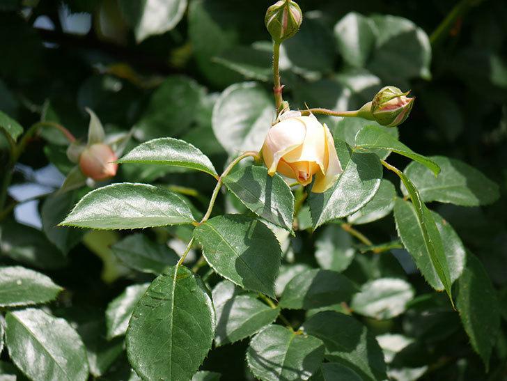 ジンジャー・シラバブ(ツルバラ)がすこし咲いた。2018年-15.jpg