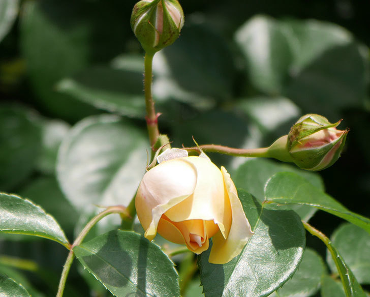 ジンジャー・シラバブ(ツルバラ)がすこし咲いた。2018年-16.jpg
