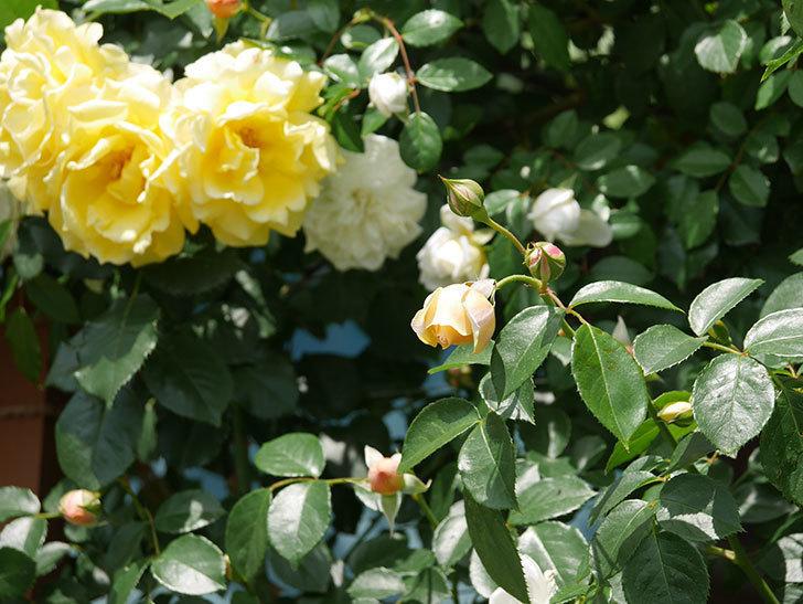 ジンジャー・シラバブ(ツルバラ)がすこし咲いた。2018年-17.jpg