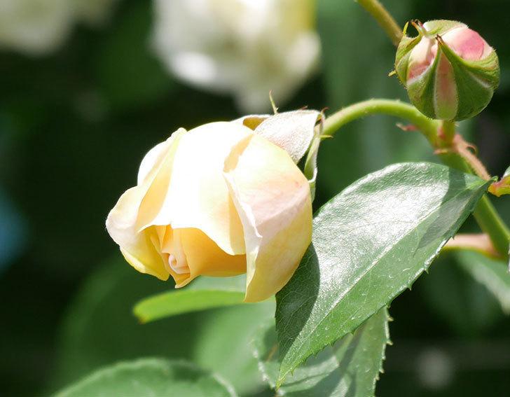 ジンジャー・シラバブ(ツルバラ)がすこし咲いた。2018年-19.jpg
