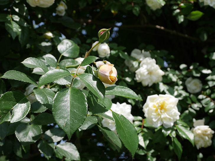ジンジャー・シラバブ(ツルバラ)がすこし咲いた。2018年-2.jpg