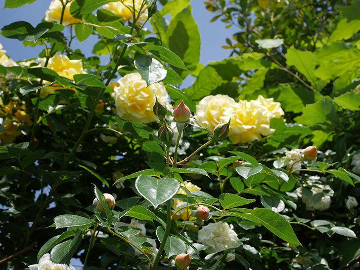 ジンジャー・シラバブ(ツルバラ)がすこし咲いた。2018年-3.jpg