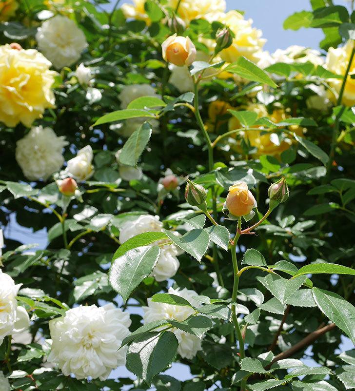 ジンジャー・シラバブ(ツルバラ)がすこし咲いた。2018年-4.jpg