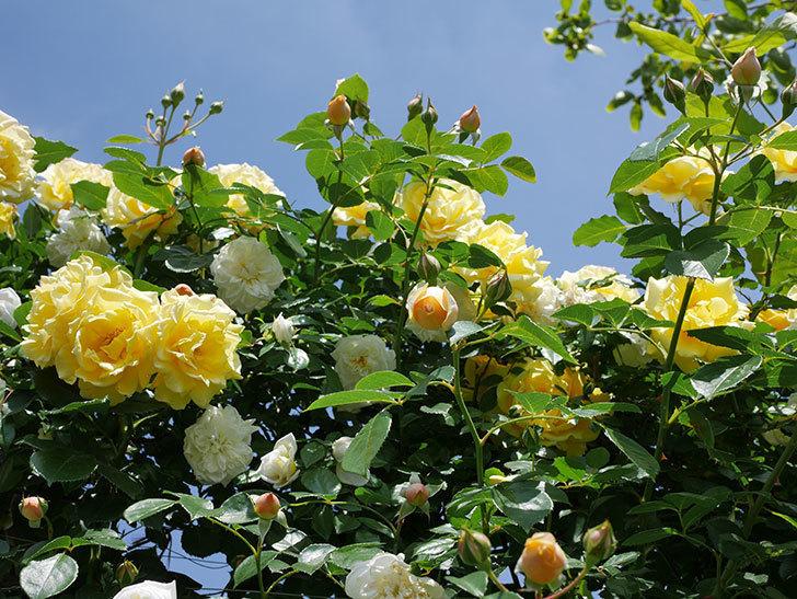 ジンジャー・シラバブ(ツルバラ)がすこし咲いた。2018年-5.jpg