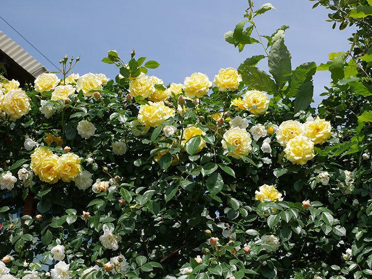 ジンジャー・シラバブ(ツルバラ)がすこし咲いた。2018年-6.jpg
