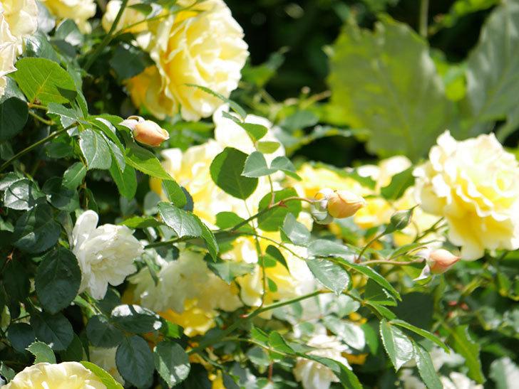 ジンジャー・シラバブ(ツルバラ)がすこし咲いた。2018年-7.jpg
