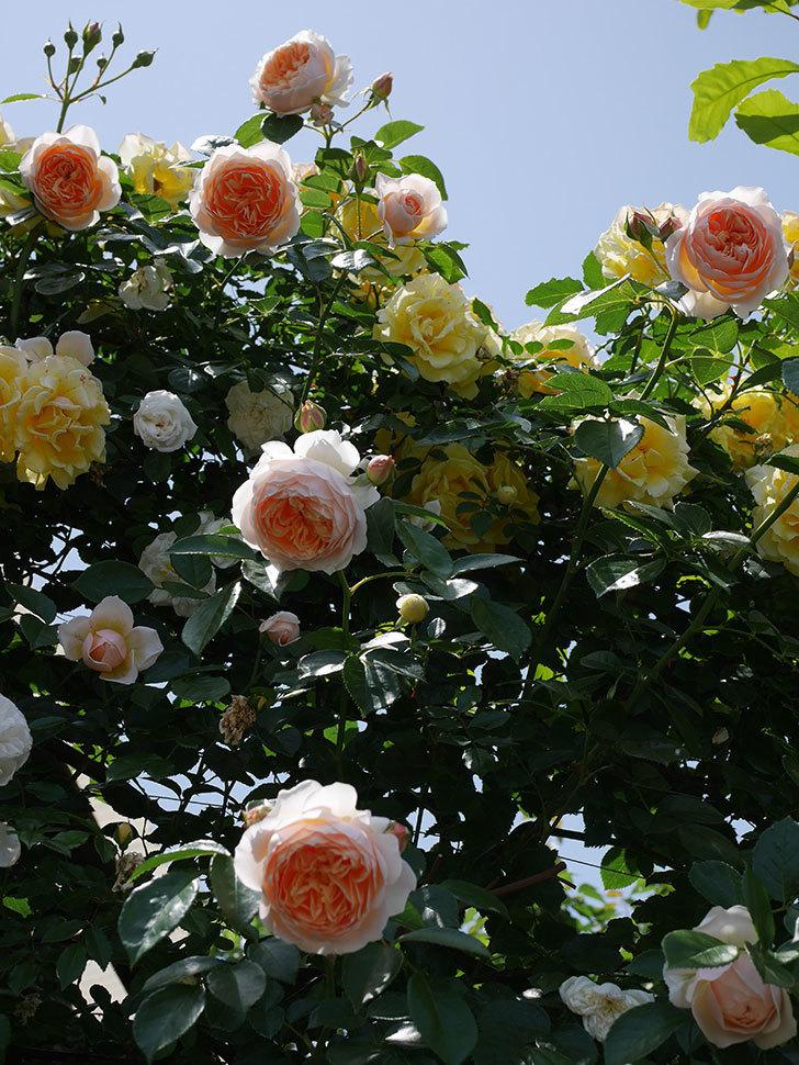ジンジャー・シラバブ(ツルバラ)がたくさん咲いた。2018年-1.jpg