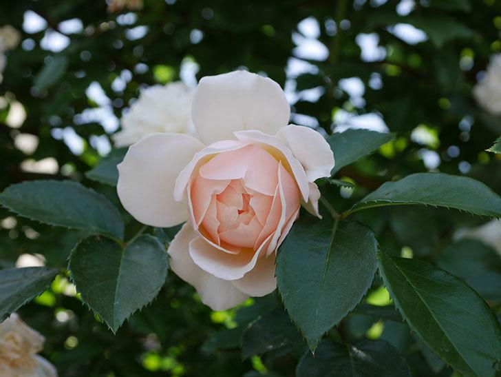 ジンジャー・シラバブ(ツルバラ)がたくさん咲いた。2018年-11.jpg