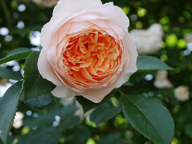 ジンジャー・シラバブ(ツルバラ)がたくさん咲いた。2018年-12.jpg