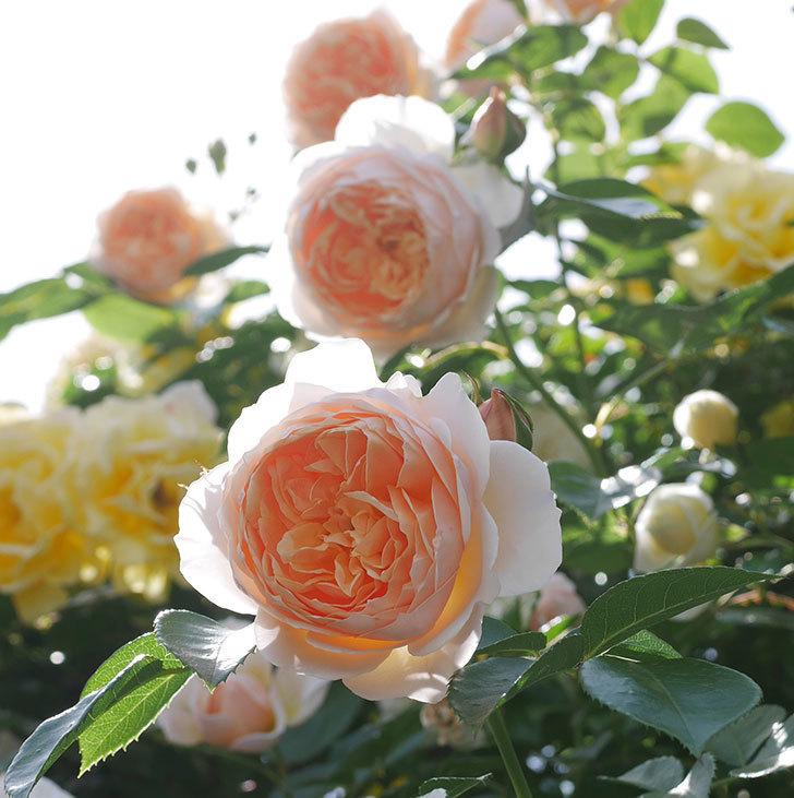 ジンジャー・シラバブ(ツルバラ)がたくさん咲いた。2018年-13.jpg