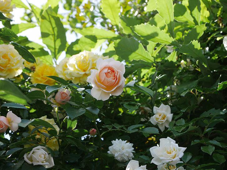 ジンジャー・シラバブ(ツルバラ)がたくさん咲いた。2018年-15.jpg