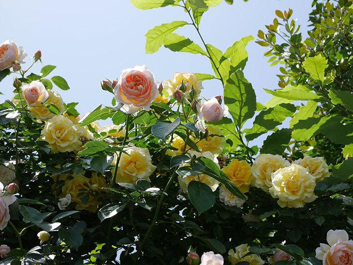 ジンジャー・シラバブ(ツルバラ)がたくさん咲いた。2018年-16.jpg