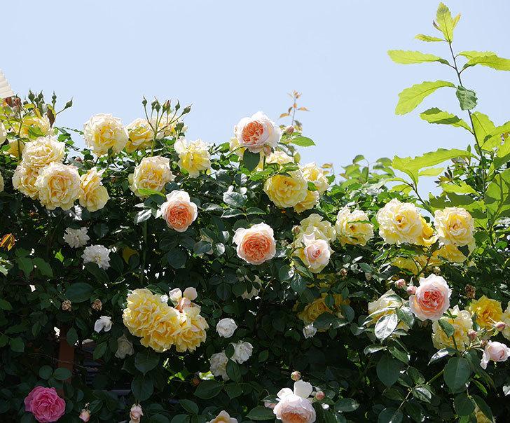 ジンジャー・シラバブ(ツルバラ)がたくさん咲いた。2018年-18.jpg