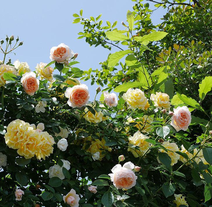 ジンジャー・シラバブ(ツルバラ)がたくさん咲いた。2018年-2.jpg