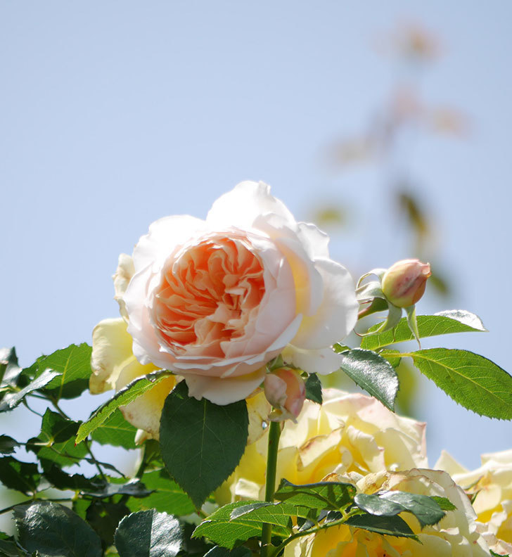 ジンジャー・シラバブ(ツルバラ)がたくさん咲いた。2018年-20.jpg
