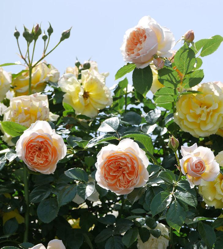 ジンジャー・シラバブ(ツルバラ)がたくさん咲いた。2018年-28.jpg