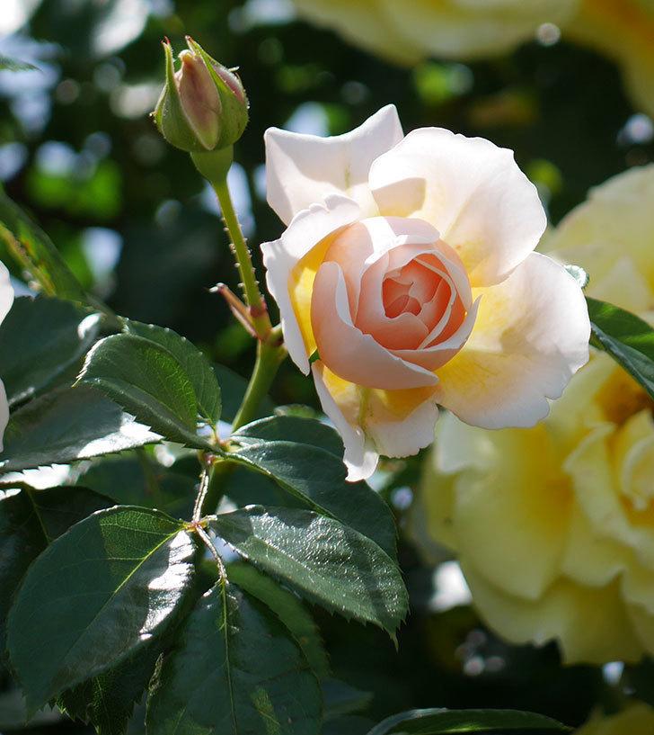 ジンジャー・シラバブ(ツルバラ)がたくさん咲いた。2018年-29.jpg