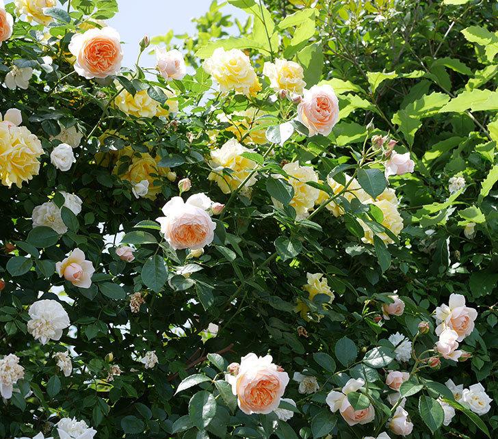 ジンジャー・シラバブ(ツルバラ)がたくさん咲いた。2018年-3.jpg