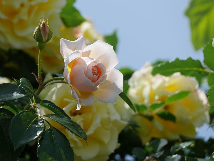 ジンジャー・シラバブ(ツルバラ)がたくさん咲いた。2018年-33.jpg
