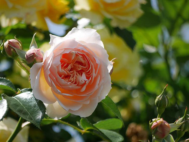 ジンジャー・シラバブ(ツルバラ)がたくさん咲いた。2018年-34.jpg