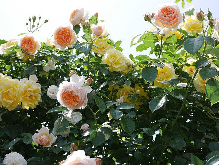 ジンジャー・シラバブ(ツルバラ)がたくさん咲いた。2018年-7.jpg