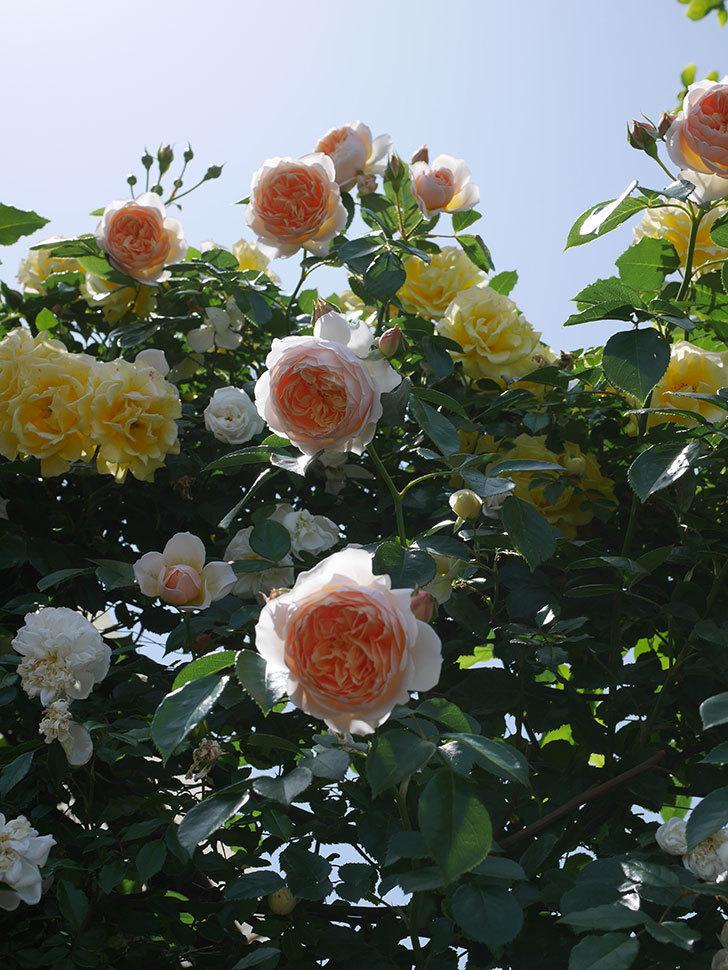 ジンジャー・シラバブ(ツルバラ)がたくさん咲いた。2018年-8.jpg
