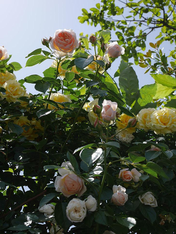 ジンジャー・シラバブ(ツルバラ)がたくさん咲いた。2018年-9.jpg