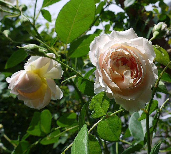 ジンジャー・シラバブ(ツルバラ)がまた咲いた。2017年-1.jpg