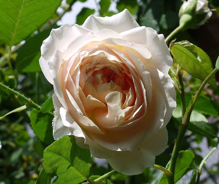 ジンジャー・シラバブ(ツルバラ)がまた咲いた。2017年-2.jpg
