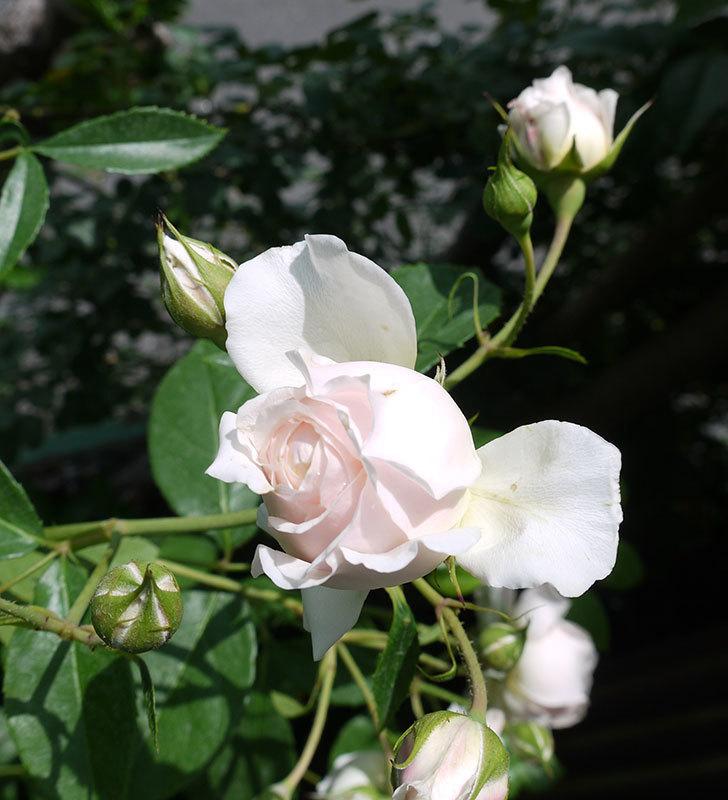 ジンジャー・シラバブ(ツルバラ)がまた咲いた。2017年-4.jpg